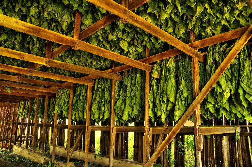Kingdom Dokha Curing Tobacco